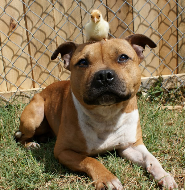 pit bull chick CUIDADO: Pit Bull so assassinos #sqn